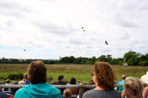 Red Kites from the audience.