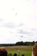 Red Kites and a slingshot of food.