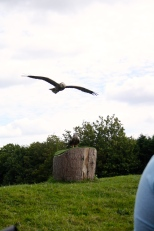 Barn owl and Red Kite.